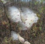 Sunlit milkweed.jpg